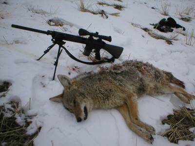 coyote and gun 2.JPG